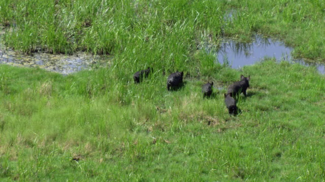 aerial view of small group of wild pigs foraging in wetland in san bernard national wildlife refuge, texas. - foraggiamento video stock e b–roll