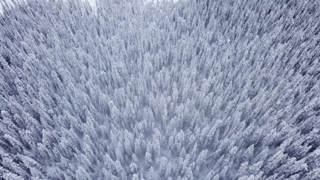 Aerial view of Snowing on the pine forest in winter