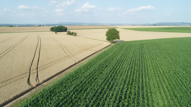 stockvideo's en b-roll-footage met aerial view of solitude tree in rural landscape with agricultural fields (corn and grain fields). franconia, bavaria, germany. - monocultuur