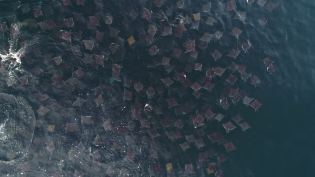 vídeos de stock e filmes b-roll de aerial view of some golden cownose rays swimming in a very large school of munk's devil rays, mobula munkiana, sea of cortes, baja california, mexico. - grande raia