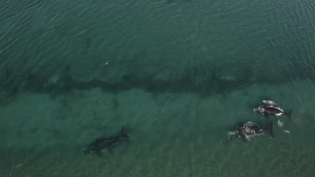 Aerial view of southern right whales mother and calf, with sea lions