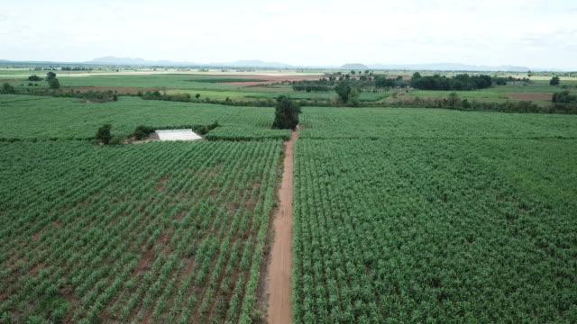 vídeos de stock, filmes e b-roll de vista aérea do campo de cana-de-açúcar - cena rural