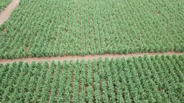 vídeos de stock, filmes e b-roll de vista aérea do campo de cana-de-açúcar - drink