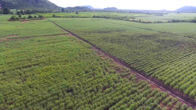 aerial view of sugar cane organic farm with beautiful sunlight - sugar cane stock videos and b-roll footage