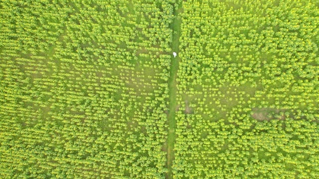 vídeos de stock, filmes e b-roll de aerial view of sunflower garden in bangladesh sunflower production in the changing climate at coastal areas of bangladesh the area of sunflower... - exclusivo