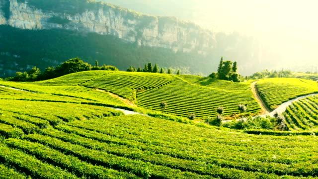 vidéos et rushes de vue aérienne du domaine de thé - thé boisson chaude