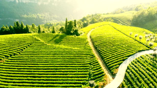 aerial view of tea field - lush stock videos & royalty-free footage