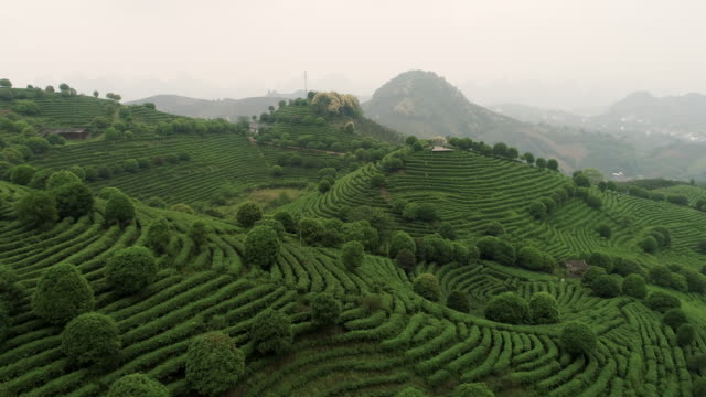 Aerial view of Tea fields in China, drone moving forward