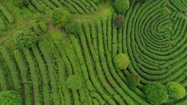 Aerial view of Tea fields in China, drone moving sideways