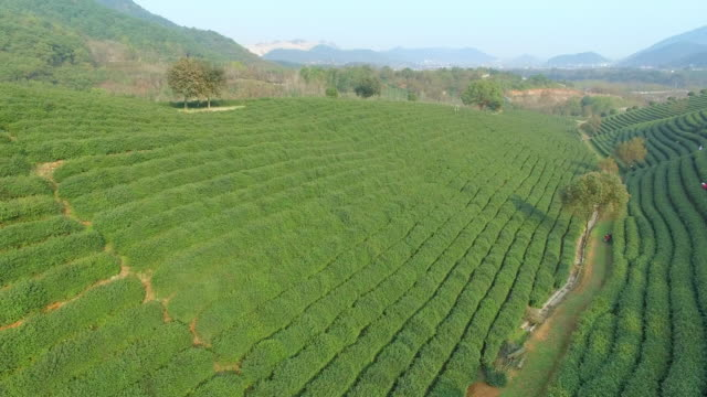 aerial view of tea plantation hangzhou longjing hill. 4k - hangzhou stock videos & royalty-free footage