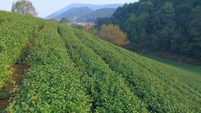 aerial view of tea plantation hangzhou Longjing hill. 4k