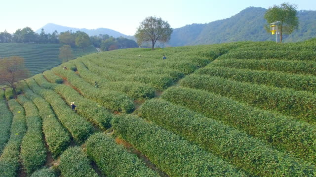aerial view of tea plantation hangzhou Longjing hill. 4k
