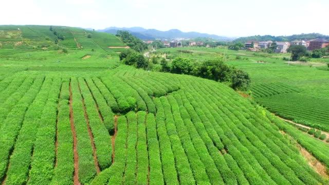 aerial view of tea plantation hangzhou Longjing hill.