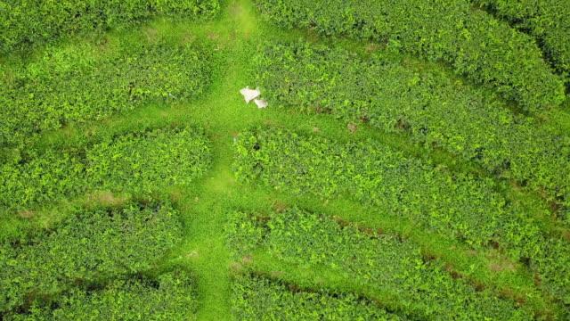 aerial view of tea plantation terrace on mountain. - tè raccolto video stock e b–roll