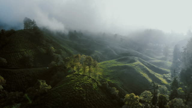 aerial view of tea plantations at sunrise - india video stock e b–roll