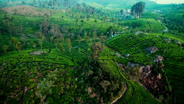 aerial view of tea plantations - lush stock videos & royalty-free footage