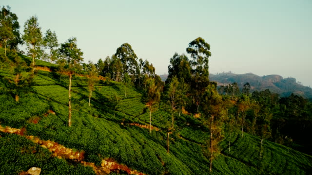 aerial view of tea plantations - sri lanka stock videos & royalty-free footage