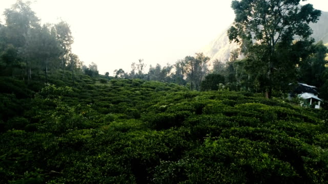 aerial view of tea plantations - plantation stock videos & royalty-free footage
