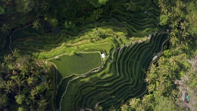 vídeos de stock e filmes b-roll de aerial view of tegallalang rice terrace - bali