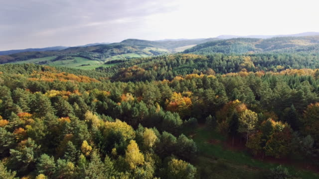 aerial view of the autumnal forest. pines and maples - maple tree stock videos and b-roll footage