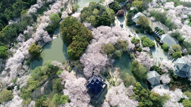 aerial view of the cherry blossoms - kieferngewächse stock-videos und b-roll-filmmaterial
