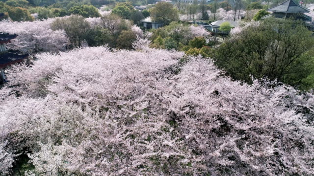 aerial view of the cherry blossoms - wuxi stock videos and b-roll footage