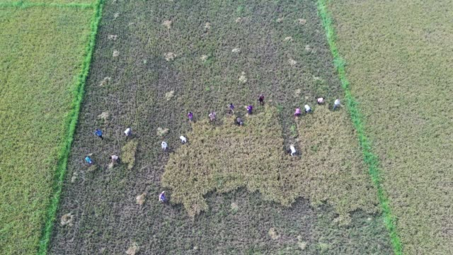 aerial view of the paddy field at the harvest season in wetland in bangladesh - strohhut stock-videos und b-roll-filmmaterial