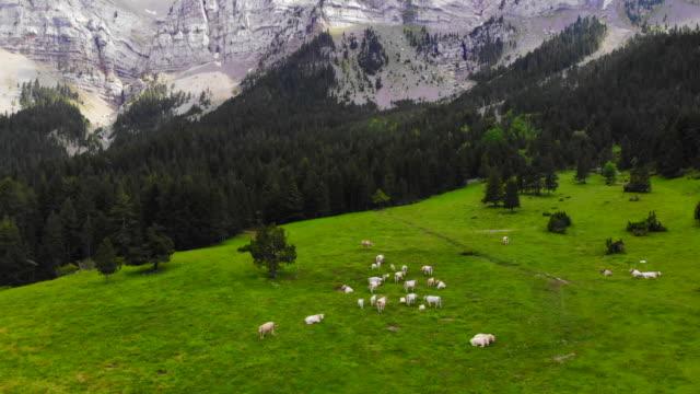 stockvideo's en b-roll-footage met aerial view of the stunning pyrenees mountains in summer with cows grazing in green meadow. los pirineos en verano con ganado ha vista de drone. - rotsmuur