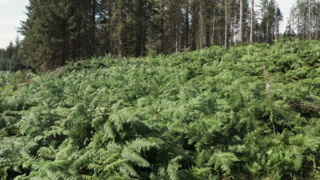 vídeos y material grabado en eventos de stock de vista aérea de gruesos pollos en el bosque escocés - johnfscott