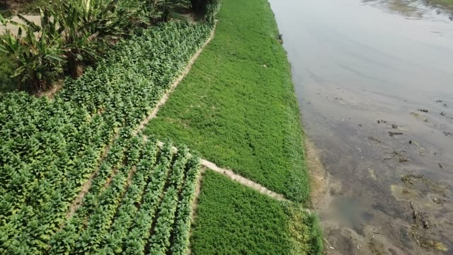 aerial view of tobacco crop field in bangladesh tobacco cultivation in bandarban hill district of bangladesh raises hackles as some companies are... - gourd stock videos and b-roll footage