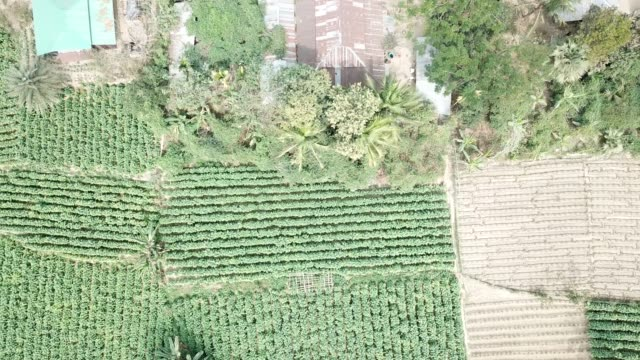 aerial view of tobacco crop field in bangladesh tobacco cultivation in bandarban hill district of bangladesh raises hackles as some companies are... - freestyleskidåkning bildbanksvideor och videomaterial från bakom kulisserna