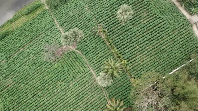 aerial view of tobacco crop field in bangladesh tobacco cultivation in bandarban hill district of bangladesh raises hackles as some companies are... - gourd stock videos & royalty-free footage