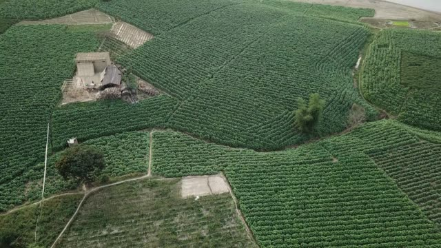 aerial view of tobacco crop field in bangladesh. tobacco cultivation in bandarban hill district of bangladesh raises hackles as some companies are... - papaya stock videos & royalty-free footage