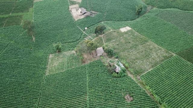vídeos y material grabado en eventos de stock de aerial view of tobacco crop field in bangladesh. tobacco cultivation in bandarban hill district of bangladesh raises hackles as some companies are... - calabaza no comestible