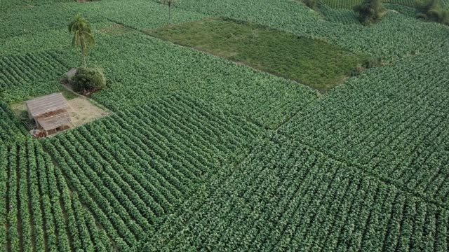 vídeos de stock e filmes b-roll de aerial view of tobacco crop field in bangladesh. tobacco cultivation in bandarban hill district of bangladesh raises hackles as some companies are... - lagenaria