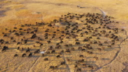 Aerial view of tourists in a 4x4 off-road safari vehicle watching a large herd of Cape buffalo grazing in the Okavango Delta, Botswana