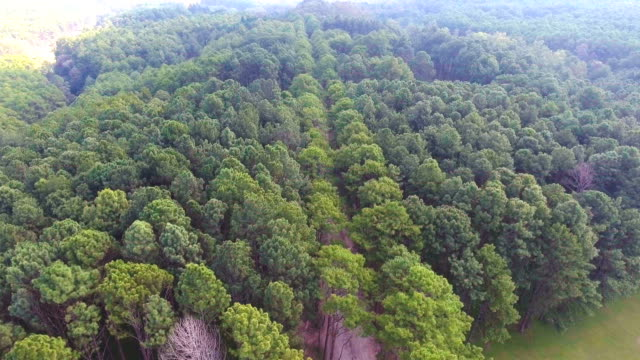 Aerial view of Tropical Pine Forest with Morning Sunlight, Thailand