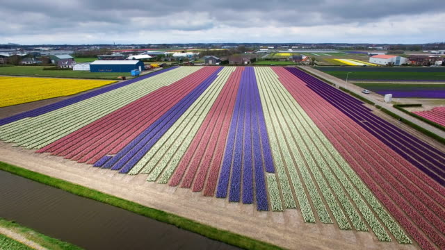 aerial view of tulip and flower fields in holland in spring - tulpe stock-videos und b-roll-filmmaterial