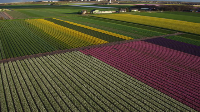 aerial view of tulips field in holland - tulip stock videos and b-roll footage