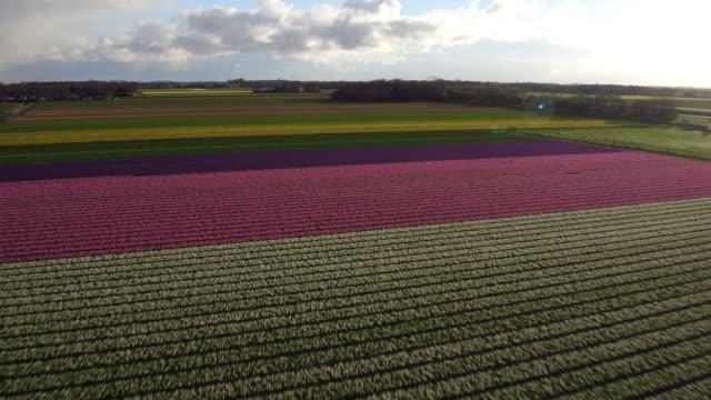 Luftaufnahme von Tulpen Feld in den Niederlanden