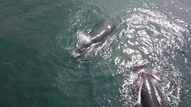 Aerial view of two southern right whales on the surface in Betty's Bay with one whale exhaling, Hermanus, South Africa.