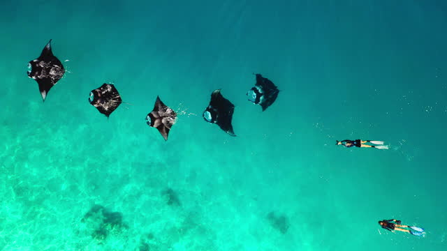 aerial view of two women swimming with manta rays in maldives - manta ray stock videos & royalty-free footage