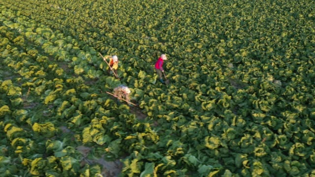 aerial view of villagers harvesting vegetables in a field on october 25 2019 in bortala mongol autonomous prefecture xinjiang uygur autonomous region... - xinjiang province stock videos & royalty-free footage