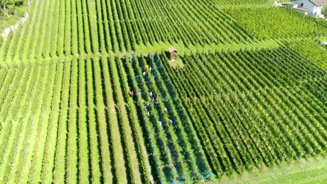 aerial view of vineyard in switzerland - fruit tree stock videos & royalty-free footage