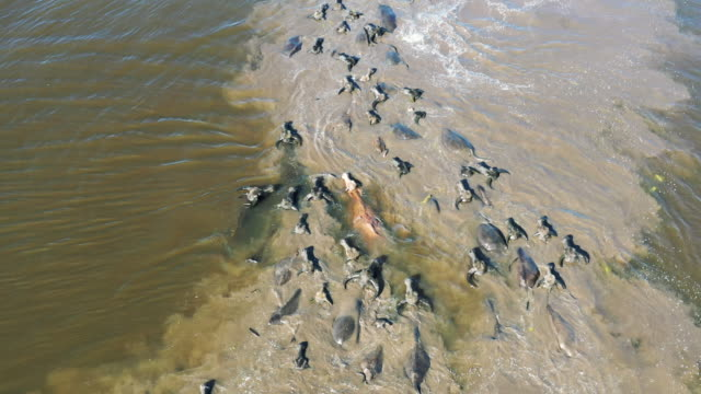 aerial view of water buffalo crossing a river in borneo - water buffalo stock videos & royalty-free footage