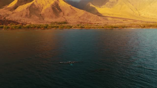 aerial view of whales swimming that pans up to pali highway and west maui mountains and sky - cetacea stock videos & royalty-free footage