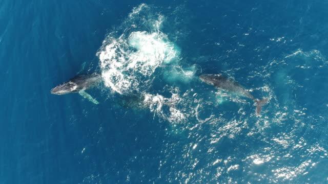 vídeos de stock e filmes b-roll de aerial view of whales - cetacea