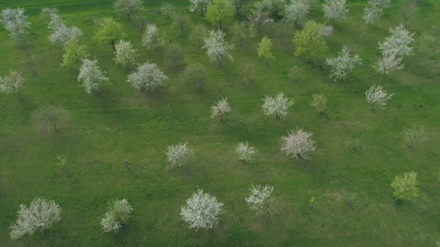 aerial view of white blossoming trees in meadow. bavaria, germany. - fruit tree stock videos & royalty-free footage