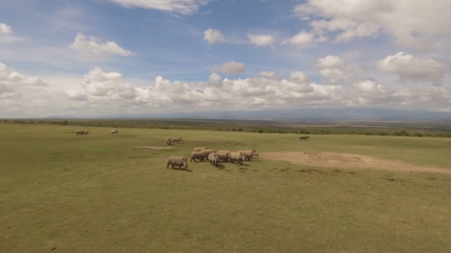 aerial view of white rhino herd on a green plain - rhinoceros stock videos and b-roll footage