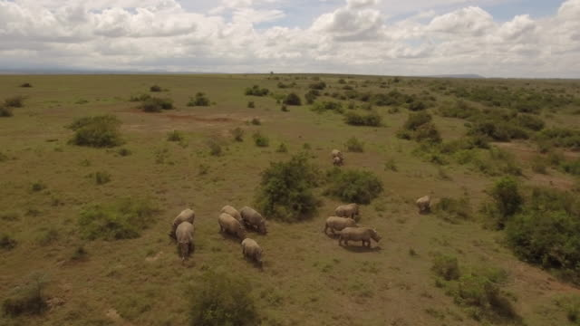 Aerial view of white rhinoceros in african bushland